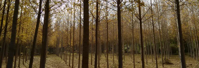 Fafcyle vende 29 lotes de madera de chopo en Zamora por más de 1.300.000 euros