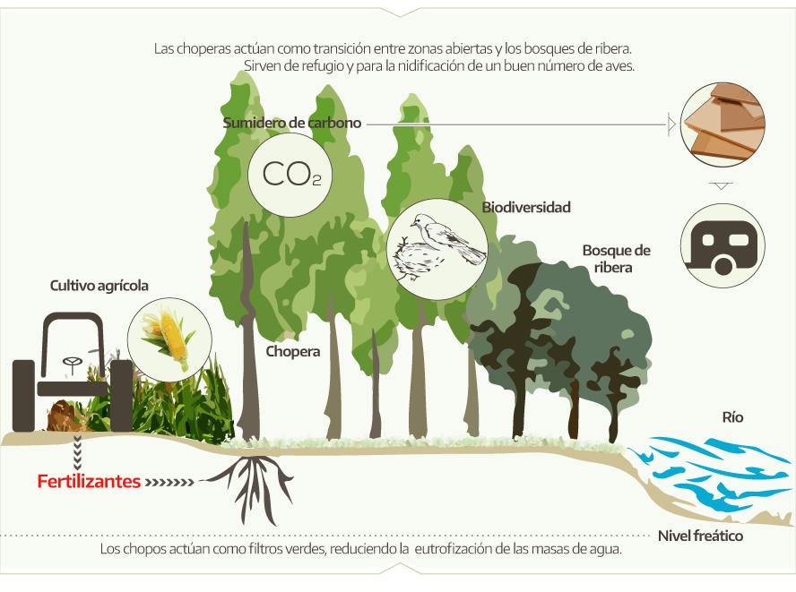 beneficios ambientales de la populicultura chopo en